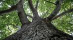 Binlerce kişiyi gölgesinde ağırlayan ağaç
