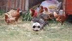 Bahçesinde beslediği horoz futbol tutkunu çıktı