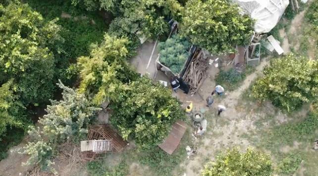 Meyve bahçesine ekilen Hint keneviri drone ile tespit edildi