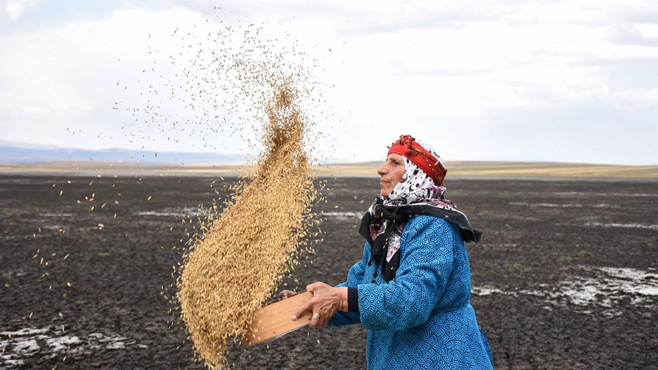 Kuruyan Kuyucuk Gölünde tahıl savurdular