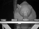 Tesise dadanan ayıların bal testi kamerada