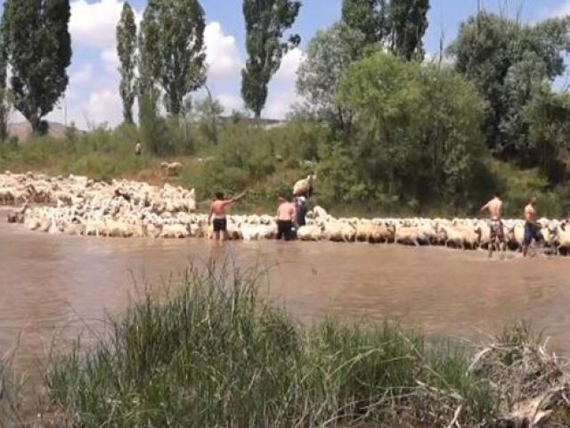 Sivas'ta yüzlerce koyun ırmakta yıkanıyor
