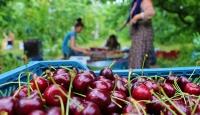 Çinliler Türk kirazını sevdi, ihracat rekor kırdı