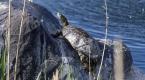 Ağrı Dağı Milli Parkına renk katan çizgili kaplumbağalar