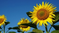 KARADENİZBİRLİK ayçiçeği ön alım fiyatını açıkladı