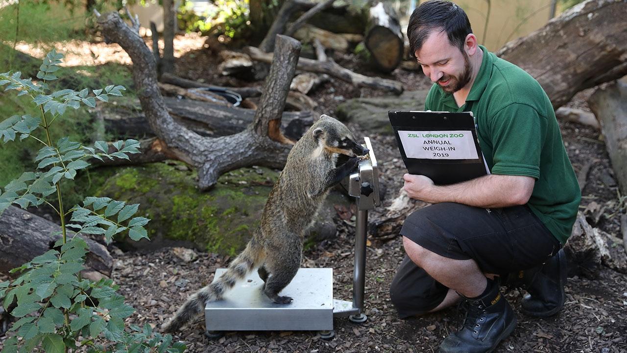 Londra Hayvanat Bahçesi sakinlerinin tartılma zamanı