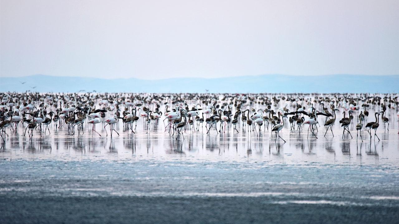 Tuz Gölü'ndeki flamingo sayısında büyük artış