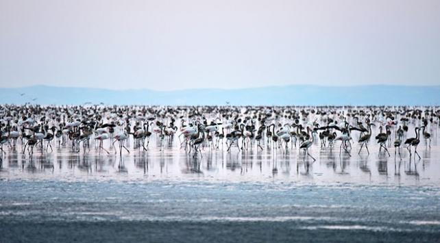 Tuz Gölündeki flamingo sayısında büyük artış