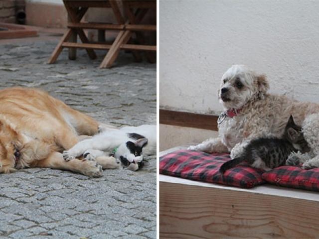 Amasya'da kedilere annelik yapan sevimli köpekler