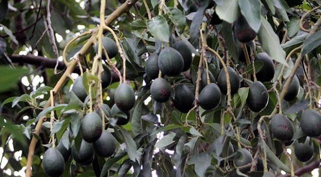 Antalyadan Bulgaristana avokado ihracatı