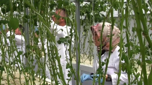 Topraksız tarımla patates tohumu üretimi artıyor
