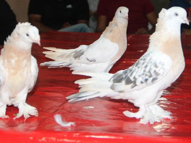Amasyada araba fiyatına güvercinler satılıyor