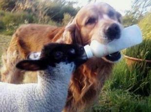 Köpeğin Kuzu Sevgisi