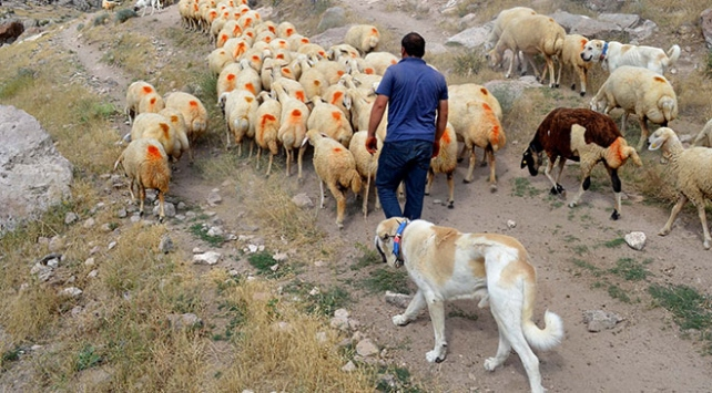 """Çinin koyunları """"Anadolu aslanı""""na emanet"""