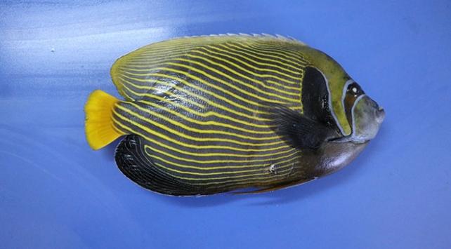 """Akdenizde rastlanan balığa """"Fenerbahçe"""" adı verildi"""