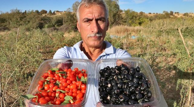 Şifa niyetine goji berry yetiştiriciliğine başladı