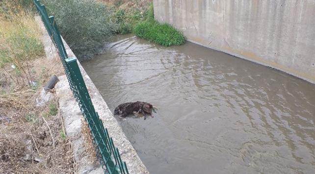 Ankarada 3 köpek zehirlenip su kanalına atıldı