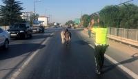 Edirne'de çevre yoluna giren eşekler trafiği karıştırdı