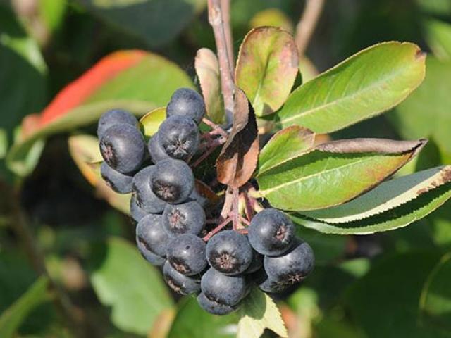 Aronya bitkisi Yalova iklimine uyum sağladı