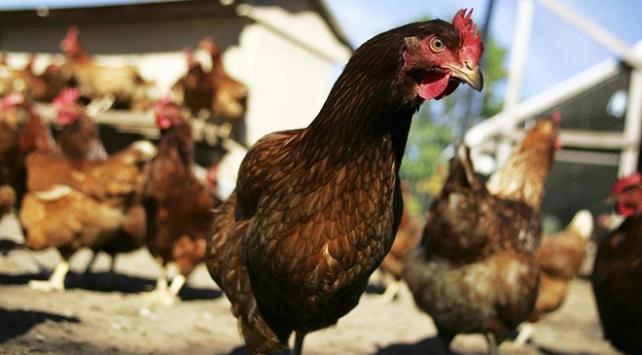 ABDde hastalık merkezi uyardı: Tavuklarınızı öpmeyin