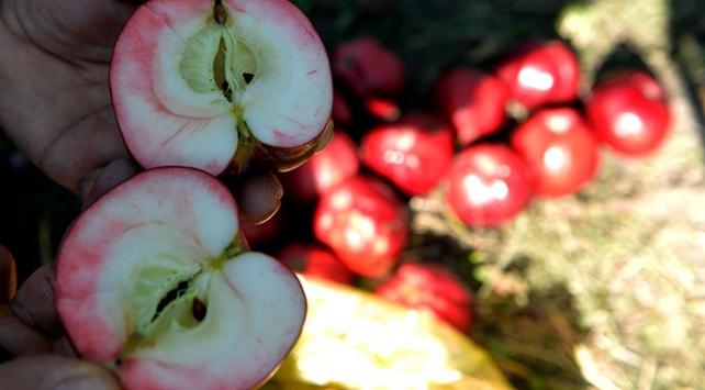 İçi dışı kırmızı olan Posof elması tescillendi