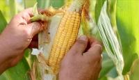 Yemlik mısır çiftçinin kazancını 4 kat arttırdı
