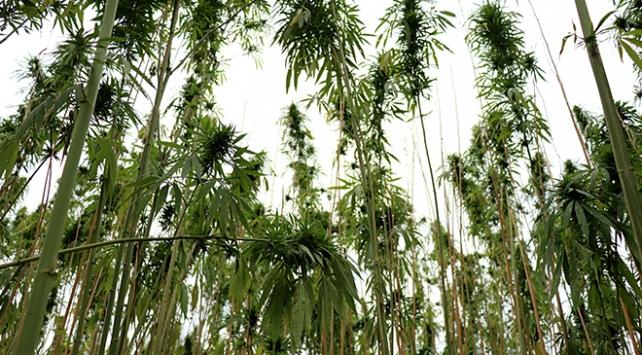 Samsunda kenevir tohumu hasadı başladı