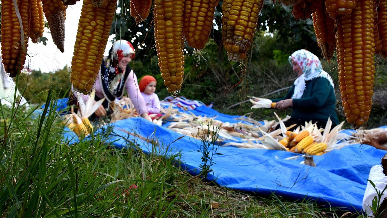 Atadan miras tohumlarla ektikleri mısıra imece usulü hasat