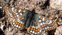 """""""12 bin yaşındaki"""" kelebek Ağrı Dağı'nda yeniden görüntülendi"""