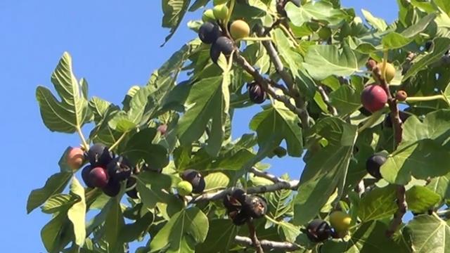 Muğla'da incirler asırlardır geleneksel yöntemlerle kurutuluyor