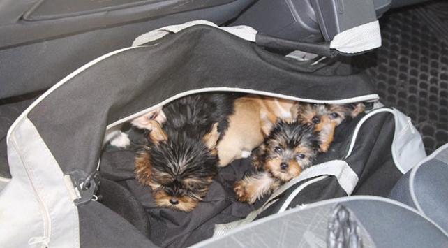 Çantadan 11 yavru köpek çıktı