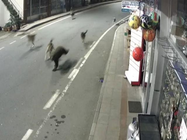 Yavru ayı ve sokak köpekleri Çamlıhemşin sokaklarında koşturdu