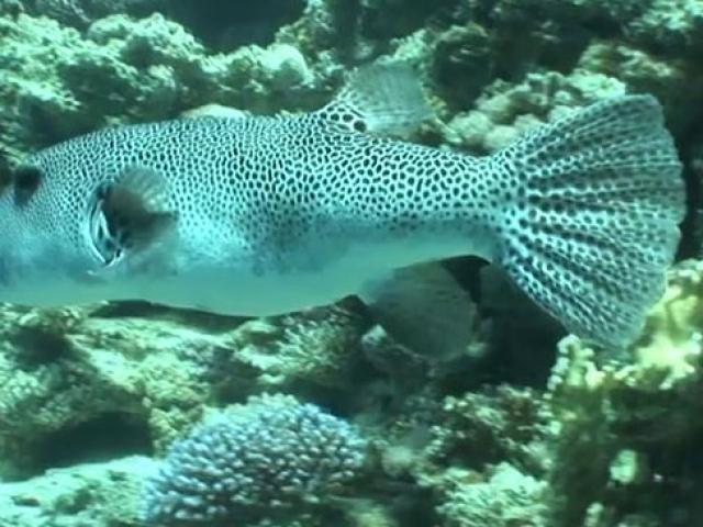 Denizlerdeki tehlike: Balon balığı