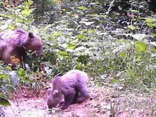 Kastamonuluların kış uykusuna yatmaya hazırlanan ayılarla imtihanı