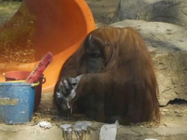 """""""İnsanla eşit yasal hak"""" tanınan ilk orangutan özgürlüğüne kavuşuyor"""