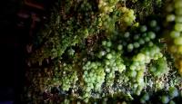 Toroslar'ın zümrüdü: Yeşil gök üzüm