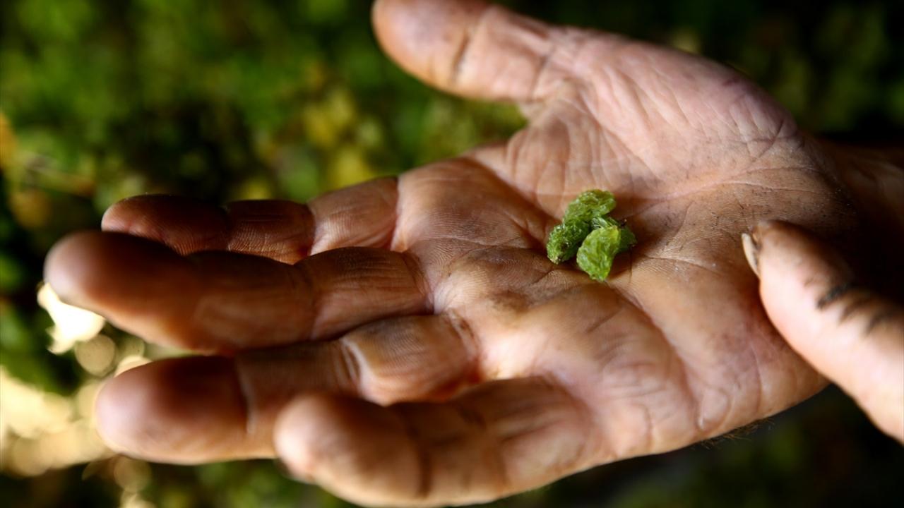 """Toros Dağlarının zümrütü: """"yeşil gök üzümü"""""""