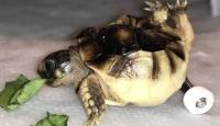 Bacakları ters doğan kaplumbağa oyuncak kaykayla yürüyor