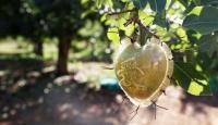 Kalp şeklindeki armutlar yoğun talep görüyor