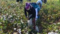 Pamuk diyarı Şanlıurfa'da yüksek rekolte sevinci