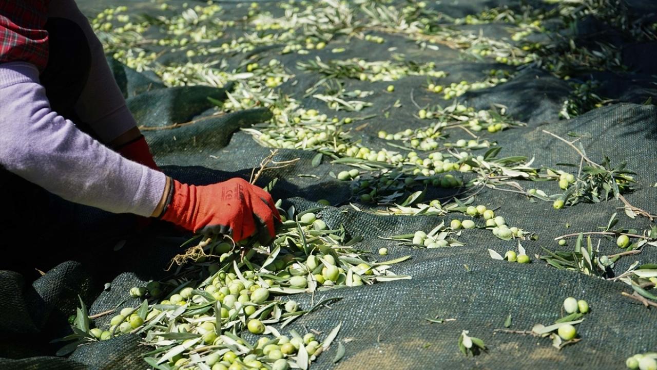 Hırsızlık endişesi zeytinciyi erken hasada yöneltti