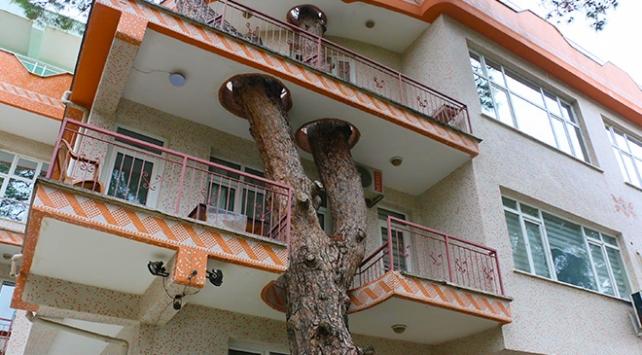 3 asırlık ağaç balkondan geçiyor