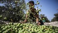Gazze'de zeytin hasadı başladı