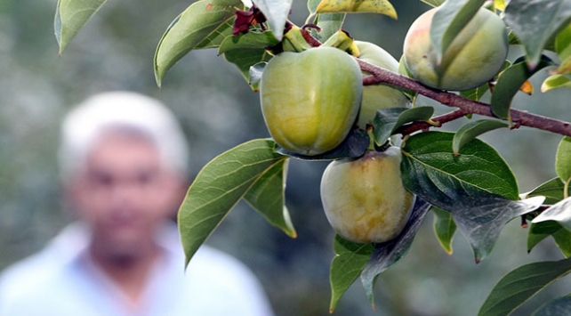 Hakkaride ılıman iklim meyveleri yetiştirilmeye başladı