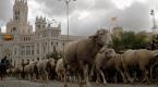 Madridde koyunlar şehre indi