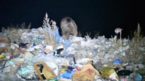 Plastik yiyen bozayıların nesli tükenme tehlikesi altında