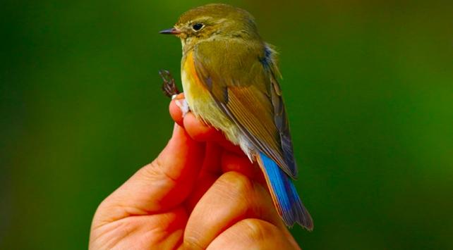 Kızılırmak Deltası Kuş Cennetinde mavi kuyruklu bülbül görüldü