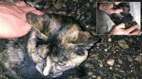 Rusya'da cezaevine uyuşturucu taşıyan kedi yakalandı