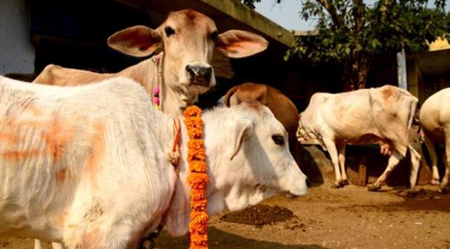 Hindistanda 7 kişi inek kestikleri için gözaltına alındı