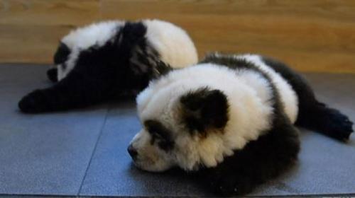 Çin'de panda görünümlü köpeklere hayvanseverler tepkili